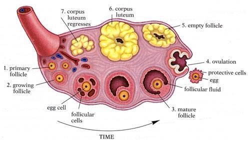 ovaio endocrinologiaoggi