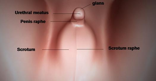 sviluppo-genitali endocrinologiaoggi